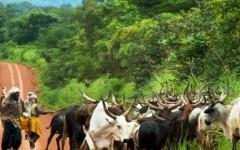 Transhumance bovine : Une proposition de loi pour mettre fin aux affrontements sanglants entre éleveurs et agriculteurs